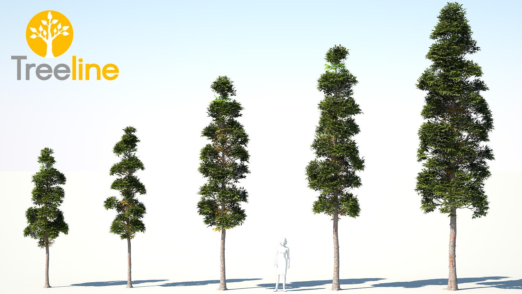 Agathis Robusta Kauri Pine 3dmk
