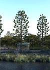 3dmk- TreeLine- Araucaria cunninghamii - Hoop Pine -EPR1