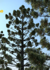 3dmk- TreeLine- Araucaria cunninghamii - Hoop Pine -EPR2