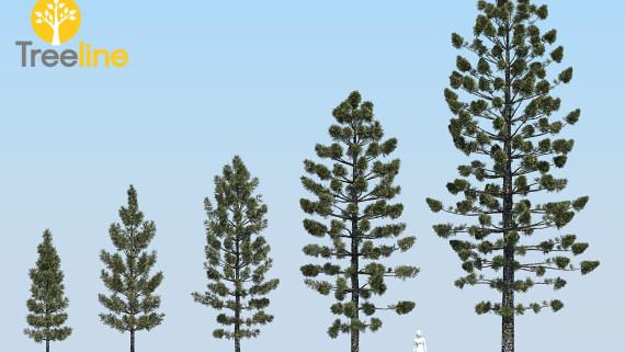 Araucaria cunninghamii - Hoop Pine