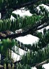 3dmk- TreeLine- Araucaria heteorophylla - Norfolk Island pine [PR]-01