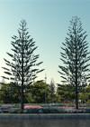 3dmk- TreeLine- Araucaria heteorophylla - Norfolk Island pine [PR]-02