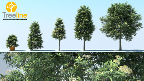 3dmk_TreeLine_Backhousia_Citriodora_Lemon_Myrtle_MPR