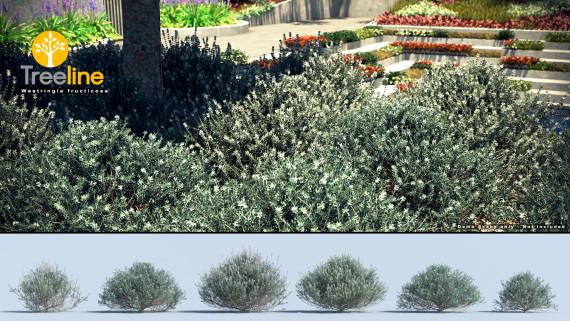 Westringia fructicosa - Coastal Rosemary