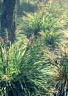Lomandra longifolia EPR3