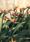 3DMK _TreeLine -Bird_Of_Paradise_Strelitzia ReginaeEPR