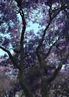 3dmk-treeline- Jacaranda mimosifolia_EPR1