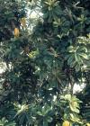 3dmk_Treeline_Banksia Intergrifolia_EPR1