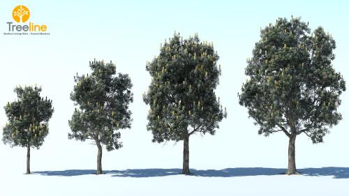 3dmk_Treeline_Banksia Intergrifolia_MPR