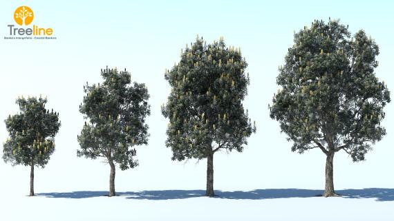 Banksia Intergrifolia - Coastal Banksia