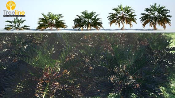 Philodendron xanadu - Winterbourn