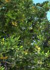 3dmk_Treeline_Cupaniopsis anacardioides_EPR-LR