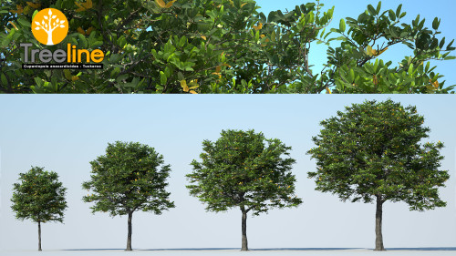 3dmk_Treeline_Cupaniopsis anacardioides_MPR-LR