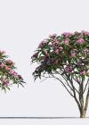 3dmk- TreeLine - Plumeria rubra -Frangipani_EPR1