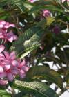 3dmk- TreeLine - Plumeria rubra -Frangipani_EPR2