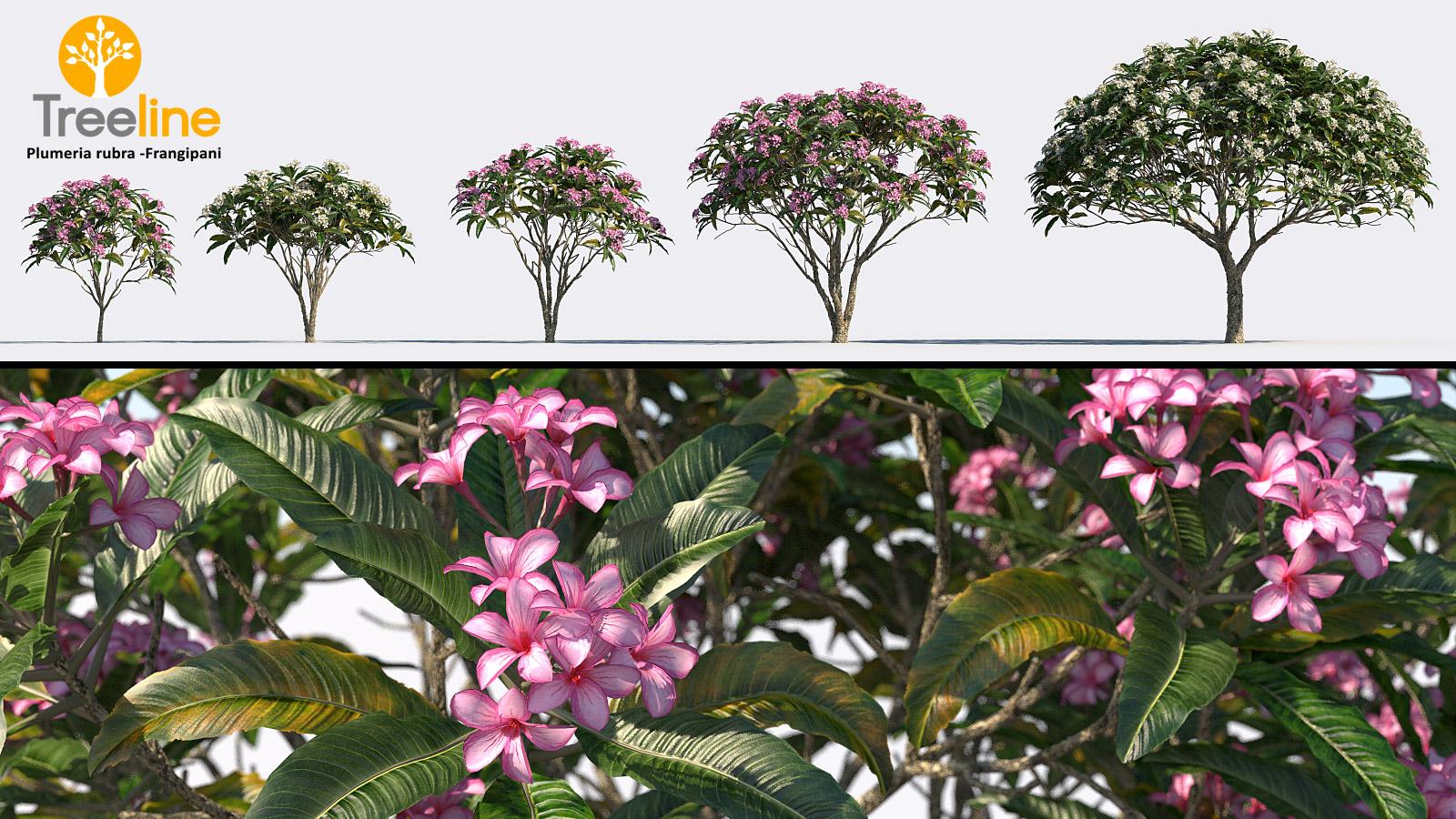 Plumeria rubra -Frangipani Tree | 3dmk