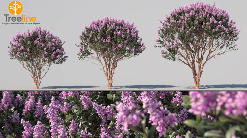 3dmk_Treeline_Largerstroemia_indica_Crepe_Myrtle_MPR