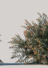 3dmk_Treeline_Austromyrtus_dulcis_EPR3