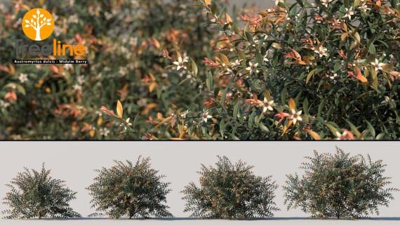 Austromyrtus dulcis - Midyim Berry