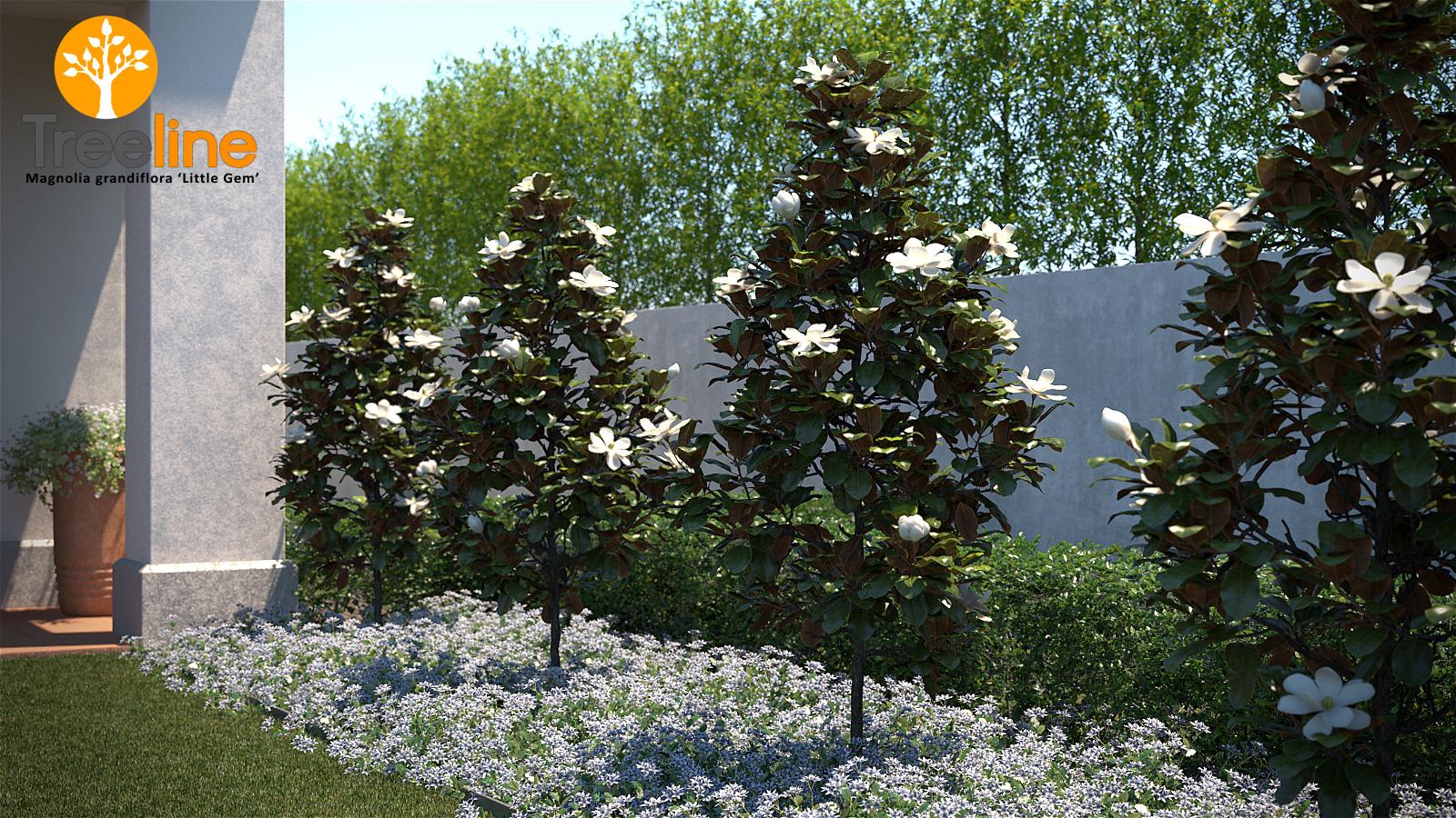 Magnolia Grandiflora Little Gem 3dmk