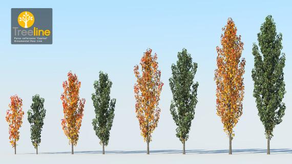 Pyrus calleryana 'capital' - Ornamental Pear Tree