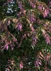3dmk_Treeline_Syzygium luehmannii_Royal_Flame_EPR1