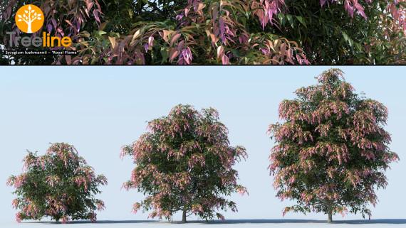 Syzygium luehmannii - 'Royal Flame'