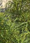 3dmk_Treeline_Codiaeum_variegatum_pictum_EPR2