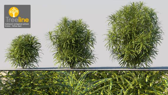 Codiaeum variegatum x pictum - Croton Yellow Spot