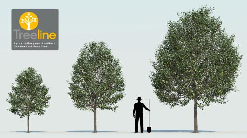 3dmk_Treeline_Pyrus_calleryana_Bradford-MPR1