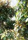 3dmk_Treeline_Elaeocarpus_eumundi_EPR_1