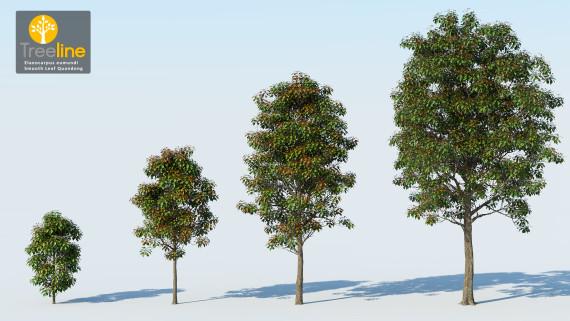 Elaeocarpus eumundi - Smooth Leaf Quandong