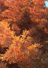3dmk_Treeline_Quercus_palustris_EPR1