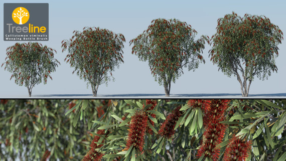 Callistemon viminalis - Syn Melaleuca viminalis -Weeping Bottle Brush