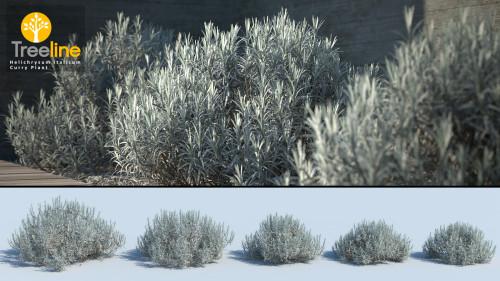 3dmk_treeline_helichrysum-italicum_curry_plant_mpr