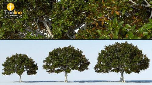 3dmk_Treeline_Ficus-macrophylla_MPR