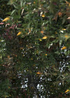 3dmk_Treeline_Syzygium_luehmannii_EPR2
