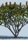 3dmk_Treeline_Banksia_robur_EPR1