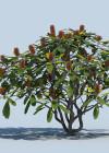 3dmk_Treeline_Banksia_robur_EPR2