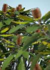 3dmk_Treeline_Banksia_robur_EPR3