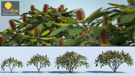 Banksia robur - Swamp Banksia
