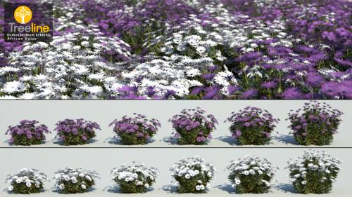 3DMK_Treeline_Osteospermum ecklonis-African Daisy-MPR