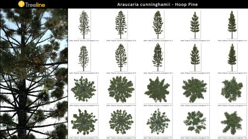3dmk- TreeLine- Araucaria cunninghamii_MPR