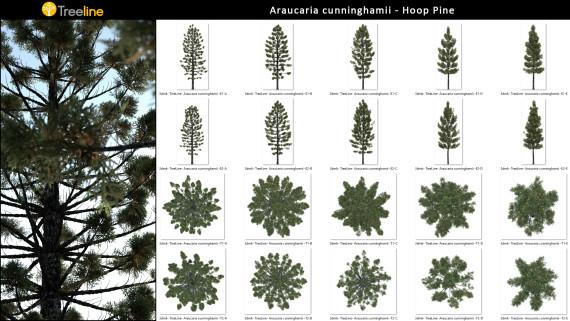 Araucaria cunninghamii - Hoop Pine - 2D