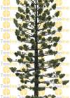 3dmk-TreeLine_Araucaria cunninghamii_EPR1