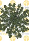 3dmk-TreeLine_Araucaria cunninghamii_EPR2