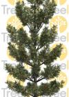 3dmk-TreeLine_Araucaria cunninghamii_EPR3