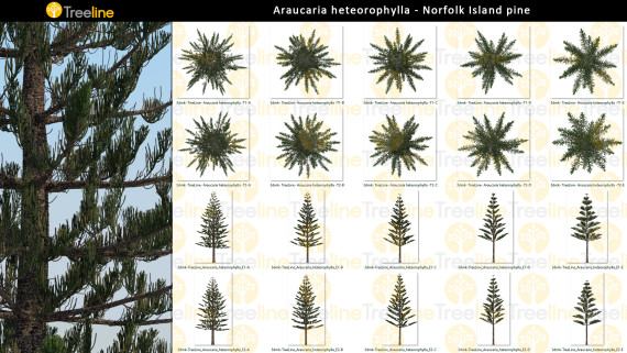 Araucaria heterophylla – Norfolk Island Pine - 2D
