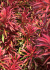 3DMK-Treeline-Callistemon_Great_Balls_of_Fire_EPR1
