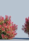 3DMK-Treeline-Callistemon_Great_Balls_of_Fire_EPR2